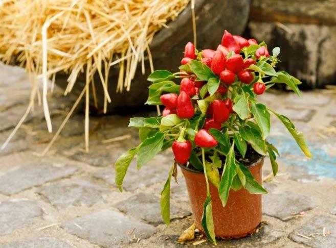 Fiori autunnali peperoncino ornamentale