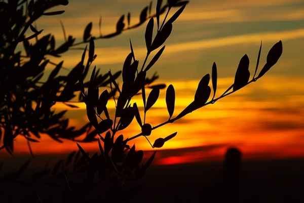 Pinata di olivo