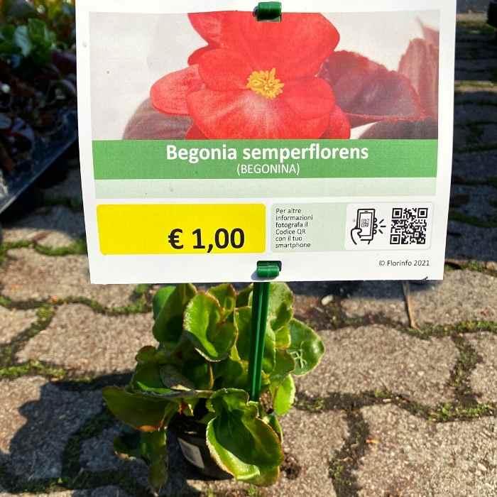Begonia In Vaso