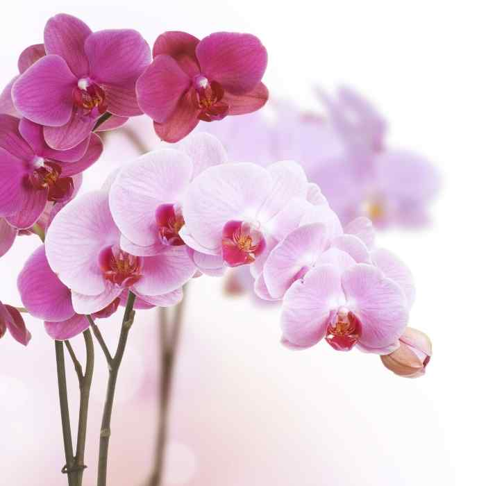 Orchidee colorate