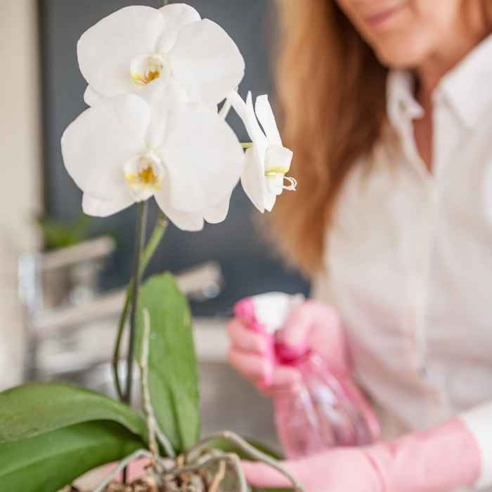 Orchidee innafiatura