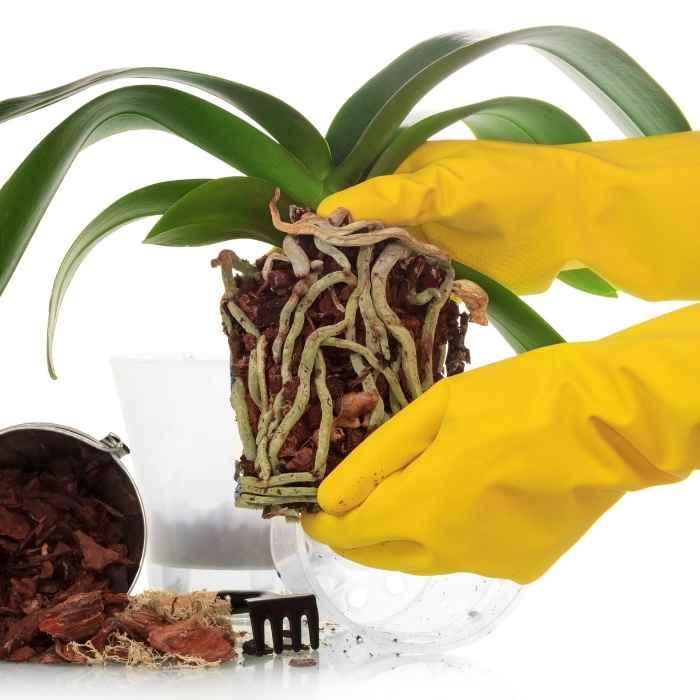 Orchidee rinvaso