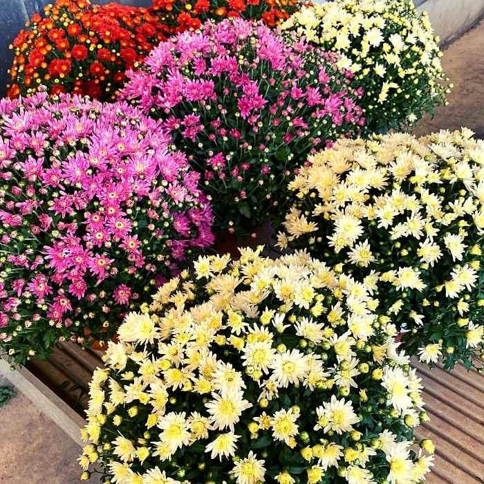 Crisantemi Fiori Morti